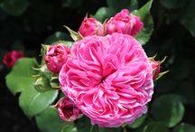 Rosarium Westbroekpark, Den Haag / Fotografie: Son Simonis. Wat plaatjes van rozen met de namen vanuit het westbroekpark. U ziet bij de afbeelding de naam van de roos, de kweker, het jaartal, land van herkomst, en het nummer van de roos.   Afbeeldingen stelen is zo zielig en simpel, ga zelf eens met uw camera aan de slag!