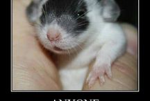 World Rat Day (April 4th) / Celebrate World Rat Day, a holiday designed to recognize the fancy rat as a wonderful pet and companion animal for people of all ages