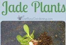 Bonsai Jade Plants