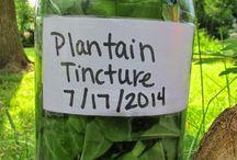 plantain ticture