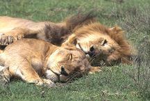 Lions / by DJ Johnson