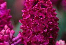 All Pink, Violet, Lilla