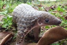 Pangolins / Rare and precious the most old mammals on Earth, eat bugs and don't have teeth but scales on all his body