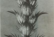 Art Forms in nature prints by Karl Blossfeldt / Prints