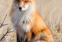 raposas da dona Conceição