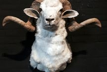 Taxidermy / Opgezette dieren / We have a large range of stuffed animals and naturalia. Whether you are looking for a nice mounted head or a butterfly under a bell jar we can provide it all.