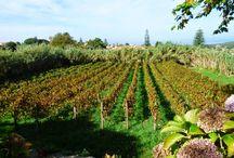 Degustação e Prova de Vinhos, em Sintra / Em Almoçageme, Colares. Depois de uma bela caminhada, visita a vinhas, quinta, adega e... vinhos!