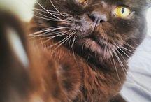 British Mr Cat Napoleon- fluffy cutie / our beautiful cat Napoleon  - British Shorhair big guy