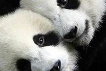 Real Life Po / Panda Bears doing what they do best, Look Adorable