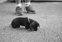 Sausage Dog Love ❤️