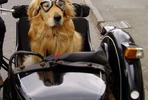 Dogs in Sidecar