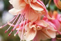 Fuchsia-Kupe cicegi