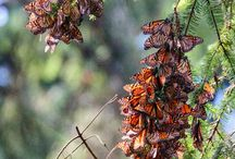 Annual monarch butterfly migration - Mexico / Each year between October and early April millions of monarch butterflies make the journey from eastern Canada to the forests of western central Mexico, a journey which spans 2,500 miles. Angus Hamilton took these fascinating photographs in Valle de Bravo on his recent visit to Mexico with Audley.