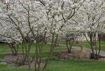 Beplanting: meerstammige bomen