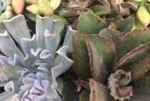 Sum Sum Summer Succulents / Succulent plants and cacti.  Although some climates, (like the Bay Area) allow for succulents to be in full sun, we recommend afternoon shade for Sacramento.  Our hot, intense summer heat can melt these little guys.