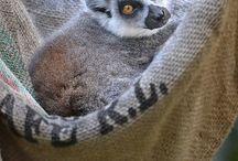 Ringstaartmaki - Ringtaled lemur