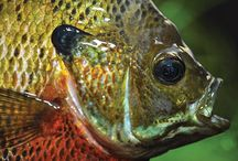 Blue Gill Perch Fishing / Blue gill, and Perch fishing tips, tricks, fish pictures and more.  http://baitcastfishreels.com