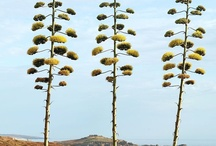 Agave trade