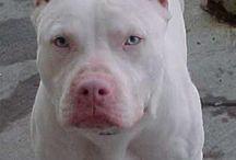 """Pit Bull / """"Quem nunca teve um PIT BULL se pergunta """"Como é possível alguém querer ter um cão assim"""", já quem tem um se pergunta """"Como é possível alguém ter um cão de outra raça""""."""""""