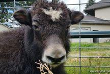 Foxloft Yak / Tibetan yak on Foxloft Farm