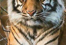 vlky,tigre,levy