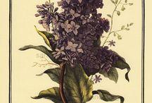 ryciny botaniczne
