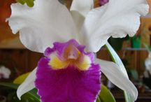 Cattleya Orchids / A genus of 113 species of orchids from Costa Rica and the Lesser Antilles south to Argentina, known for their large, showy flowers.
