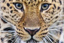 Leopards & Panthers