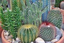 cactusario
