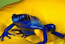 żabki