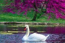 Il lago dei cigni