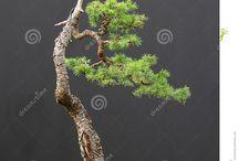 Bonsai Coniferous