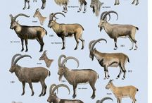 Capra ibex - keçi - dağkeçisi