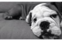 George the prince bulldog / George the most gorgeous Englidh Bulldog