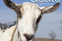 2015 Goats Calendar / by MegaCalendars.com