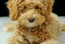 My REAL child ;)  / Goldendoodles  / by Sara Tinnin