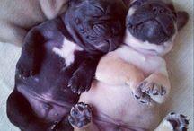 Puggle love