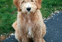 My Goldendoodle Carlos ♥ / Can you tell I LOVE my dog??
