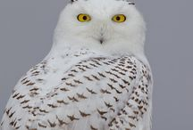 Owls, Mysterious Beauties / Photographs and Art Images of Mysterious and Beautiful Owls / by Jenny Rainforest
