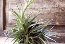 Succulents, Air Plants & Aloes