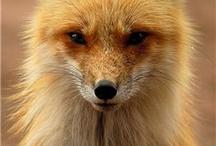 Foxy. / by Sarah Selecky
