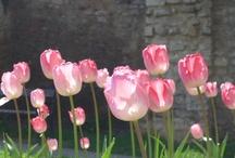Tulips / Pecs