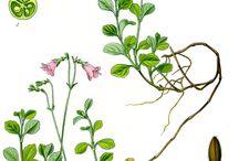 kasveja