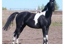 Tobiano without Markings / These horses have the tobiano pattern, but have solid faces or faces with only a small star.