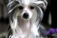 Čínský chocholatý pes osrstěný