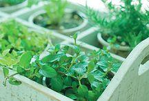 GROWING HERBS & VEGETABLES & TREES