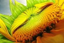 słoneczniki Sunflowers / słoneczniki Sunflowers
