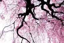 Sakura and branch shoot
