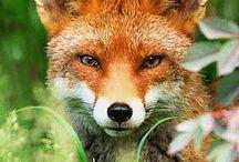 Fox in the Box / na 100 rudych 101 fałszywych