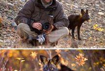 Foxes/fox